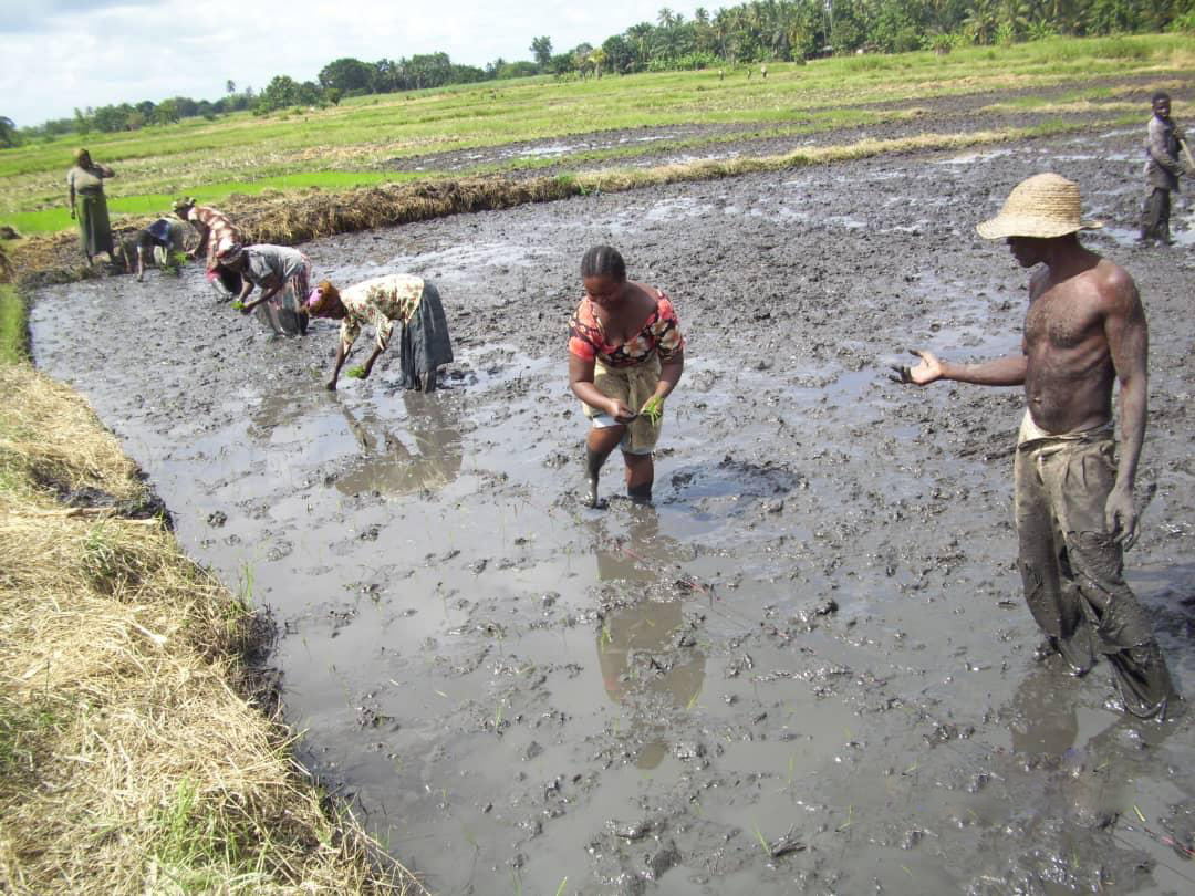 Tanzania, rice, SRI, system of rice intensification, agriculture, farming, farm